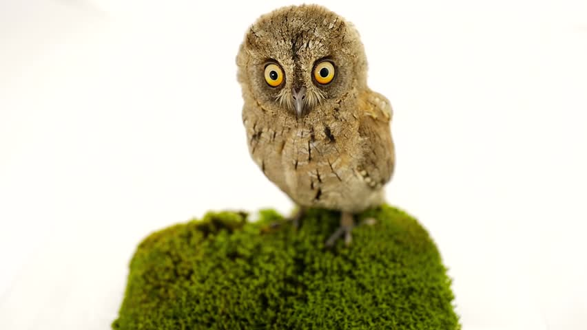 European scops owl on white screen | Shutterstock HD Video #22391932