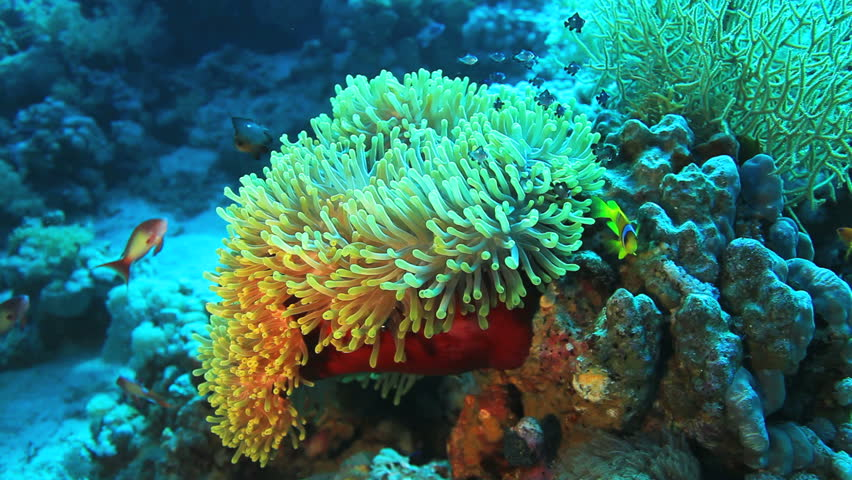 anemone fish at the sea floor - HD stock video clip