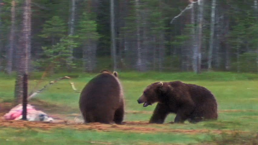 Brown Bear fighting