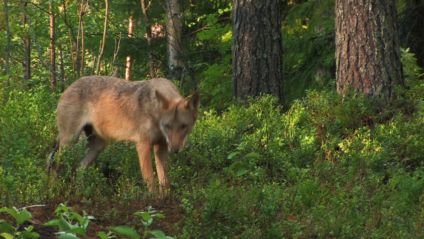 wolf in forest - HD stock footage clip