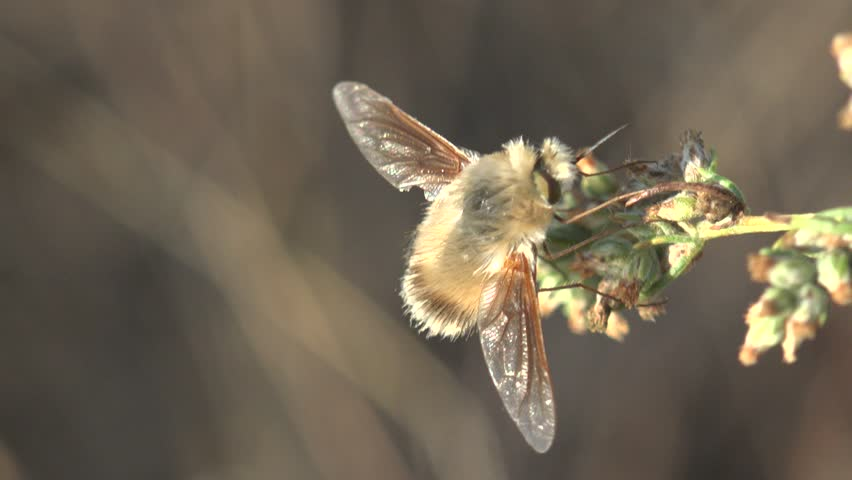 Insect Bombylius major mimic Large Bee-fly drinking nectar macro 4k | Shutterstock HD Video #22624078