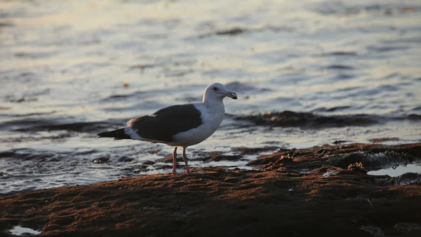 Sea gull on the beach looking for something to eat - HD stock video clip
