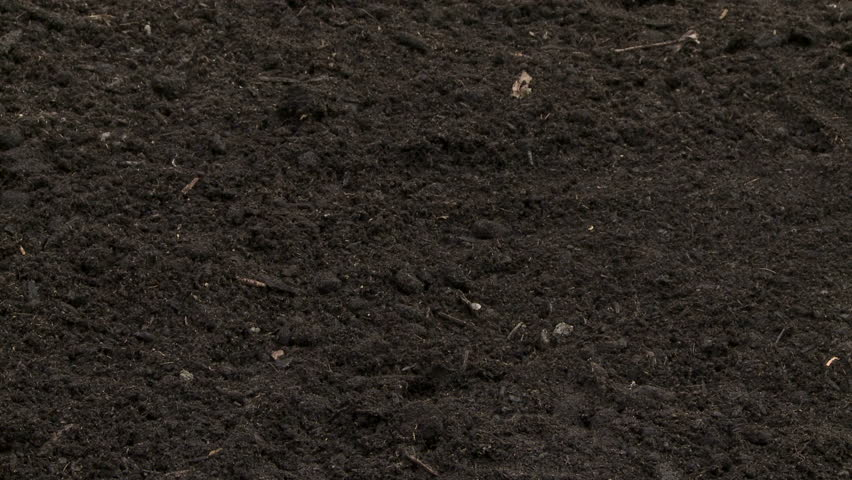 Man planting a conifer tree seedling in the ground
