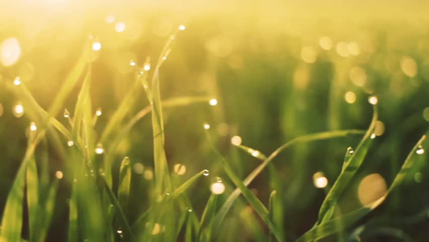 Fresh spring morning grass with dew in the sunrise | Shutterstock HD Video #22900072