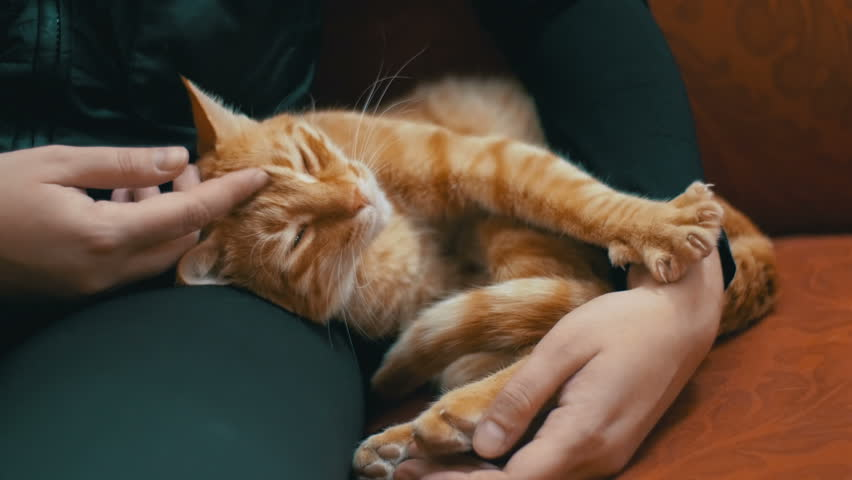 Woman Stroking a Red Cat Lying on the Couch. The cat lies on the upholstered furniture in the house and playing with the girl. Red-haired cat on the lap of a man.   Shutterstock HD Video #23009350