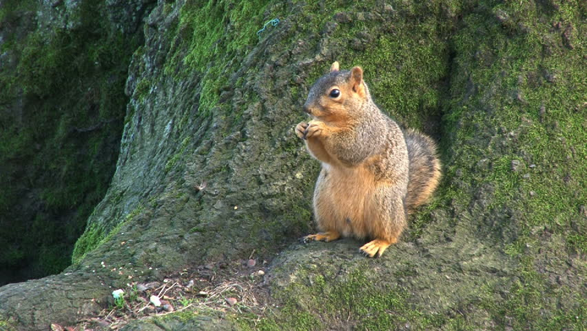 Squirrel eating nuts on tree trunk. - HD stock footage clip