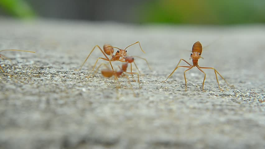 Red ant on cement | Shutterstock HD Video #23116297