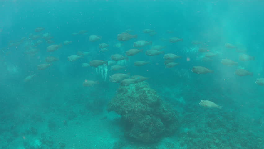 School of Humphead Parrotfishes on a colorful coral reef.  4k footage | Shutterstock HD Video #23182825