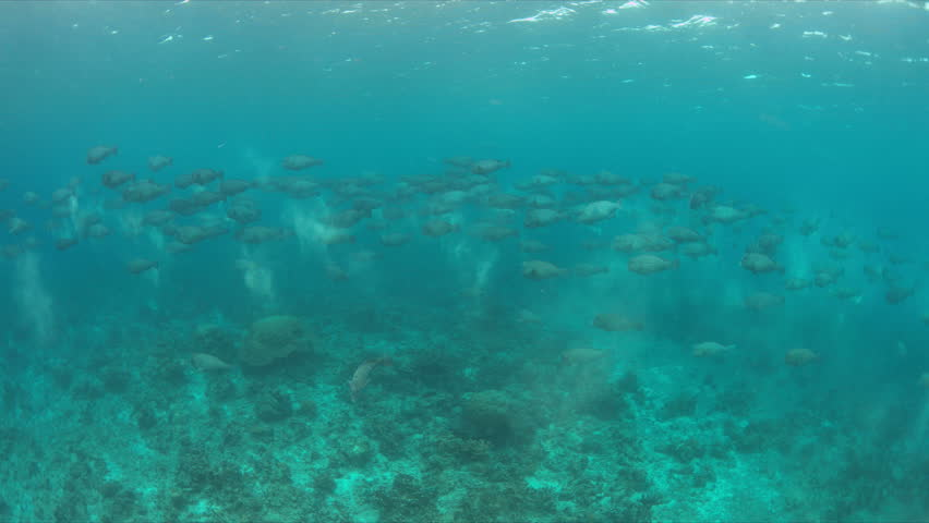 School of Humphead Parrotfishes on a colorful coral reef.  4k footage | Shutterstock HD Video #23182996