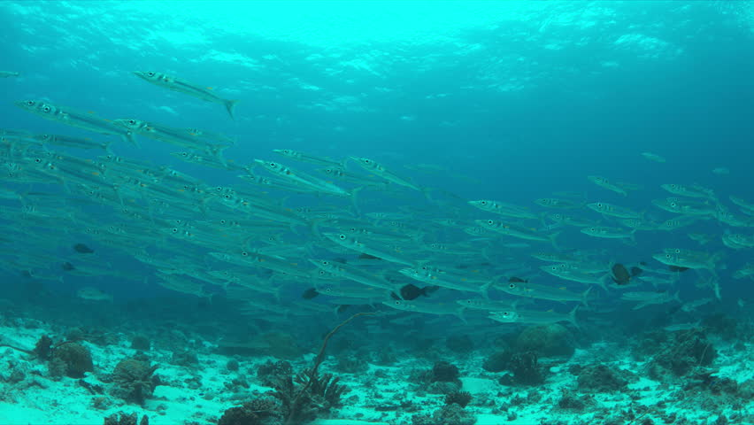 School of Barracudas swims in a light current on a coral reef. 4k footage | Shutterstock HD Video #23183860