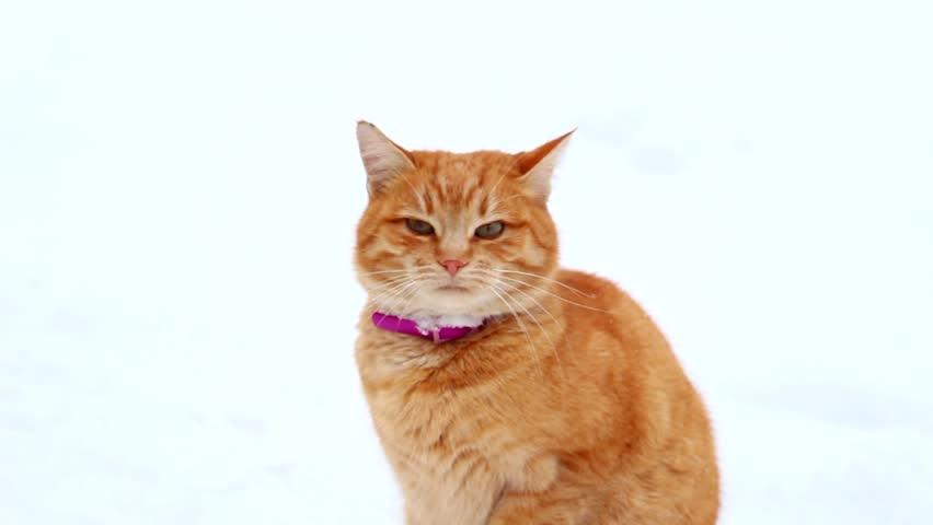Red Cat in the snow. | Shutterstock HD Video #23213767
