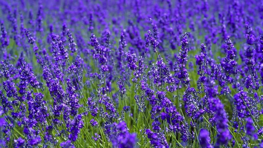 Lavender. | Shutterstock HD Video #23213839
