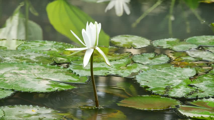Ho Chi Minh city, Vietnam - Jan 20, 2015: Beautiful waterlily or lotus flower. | Shutterstock HD Video #23258677
