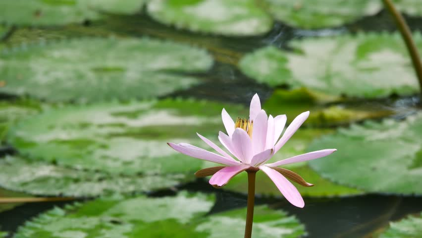 Ho Chi Minh city, Vietnam - Jan 20, 2015: Beautiful waterlily or lotus flower. | Shutterstock HD Video #23258686