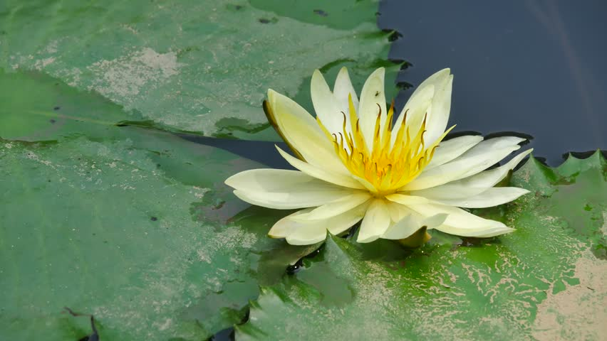 Ho Chi Minh city, Vietnam - Jan 20, 2015: Beautiful waterlily or lotus flower. | Shutterstock HD Video #23258695