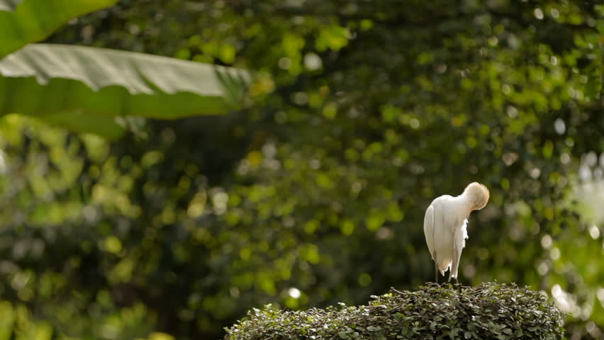 The cattle egret (Bubulcus ibis) cleaning its feathers. Cosmopolitan species of heron. Malaysia. | Shutterstock HD Video #23267137
