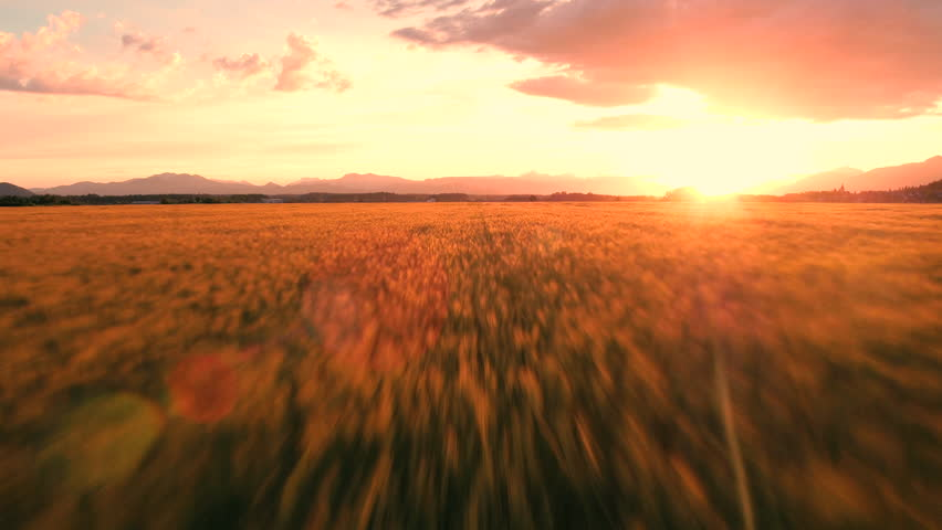 Aerial, edited - Fast flight through beautifully sunlit wheat field at sunset | Shutterstock HD Video #23283355