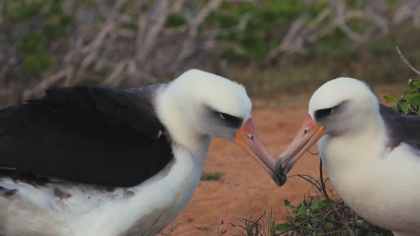 Two sea birds Albatrosses in natural habitat socializing #23637253