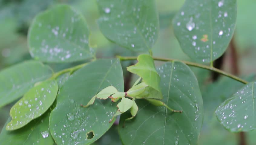 Leaf insect in Thailand and Southeast Asia.