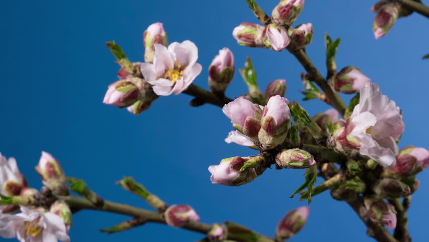 Almond blossom spring background. | Shutterstock HD Video #24162736