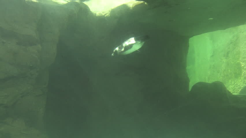 jackass penguins swimming in the underwater cave - HD stock video clip