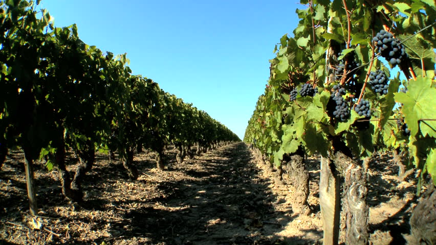 Rows of grapevines ready for harvest - HD stock video clip