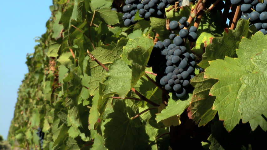 Close-up of black grapes on the vine - HD stock video clip