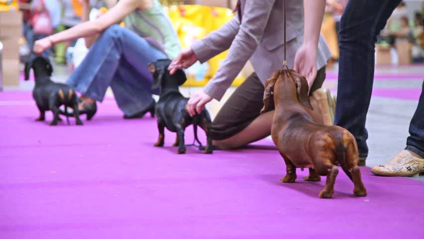 Dogs of Badgerer participates together with owners in dogshow - HD stock footage clip