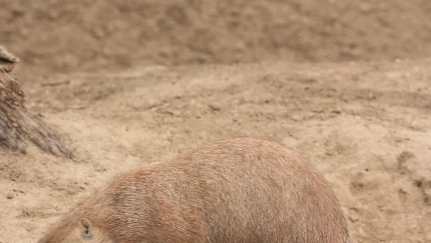 Prairie dog eats a grass blade - HD stock footage clip