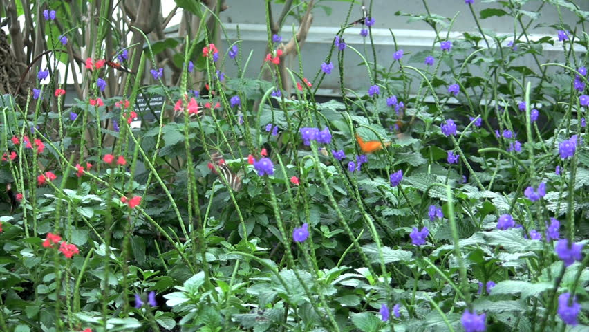 field of fluttering butterflies - HD stock footage clip