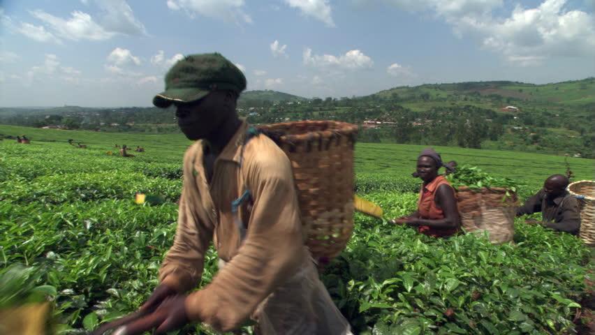 Header of African Tea