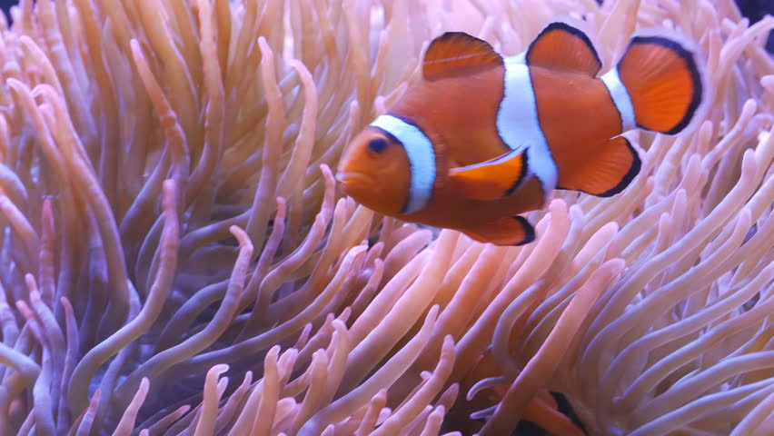 close up tracking shot of an orange and white clownfish and its host anenome