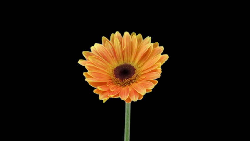 Time-lapse of growing and opening orange gerbera flower isolated on black background 1