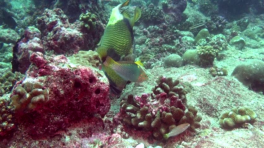 Wrasse fish on background of clear seabed underwater of Maldives. Swimming in world of colorful beautiful seascape. Aquarium of wild nature. Abyssal relax diving. | Shutterstock HD Video #27200956