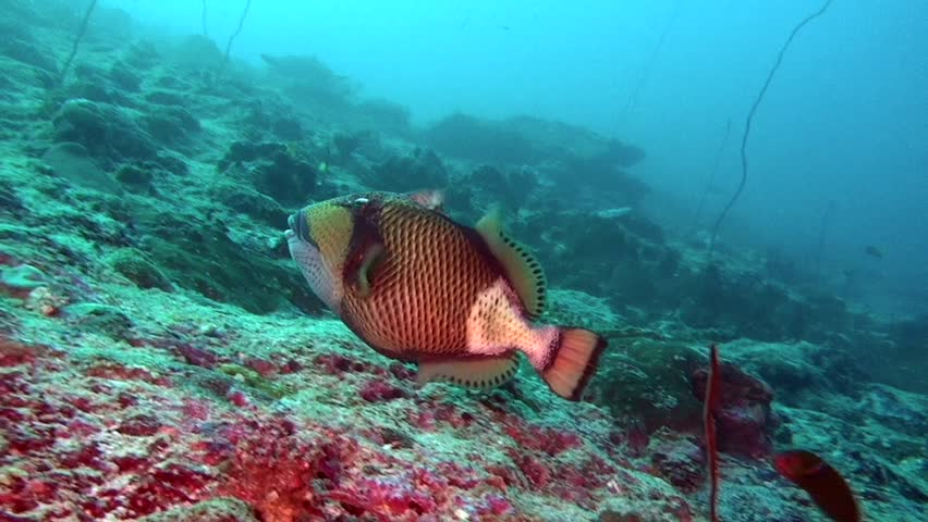 Wrasse fish on background of clear seabed underwater of Maldives. Swimming in world of colorful beautiful seascape. Aquarium of wild nature. Abyssal relax diving. | Shutterstock HD Video #27201109