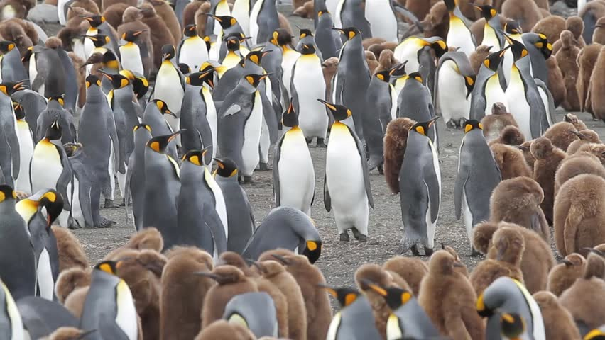 King penguin colony with chicks on Macquarie Island, Sub Antarctic Islands, Australia