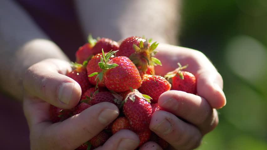 Fresh organic strawberries in human hands #27470398