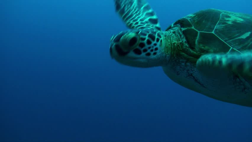 A beautiful green turtle lets the camera get close. - HD stock footage clip