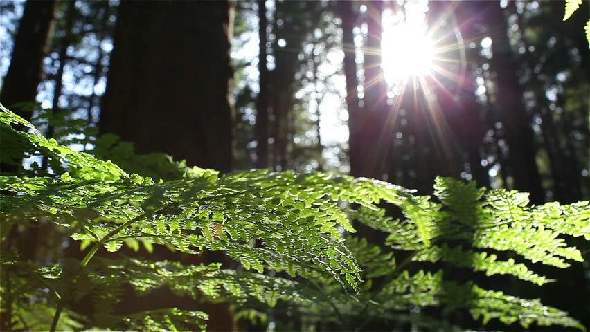Sun Glimmering through Ferns tracking, dolly shot  - HD stock video clip