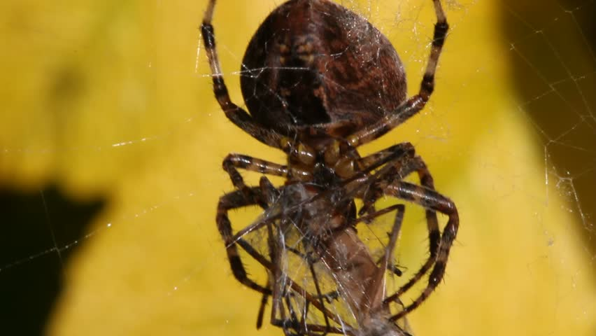 Spider in web with prey - photo#51