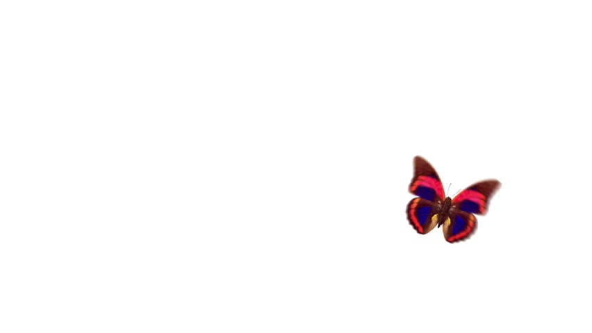 one butterfly flight and landing of an alpha channel, and white background
