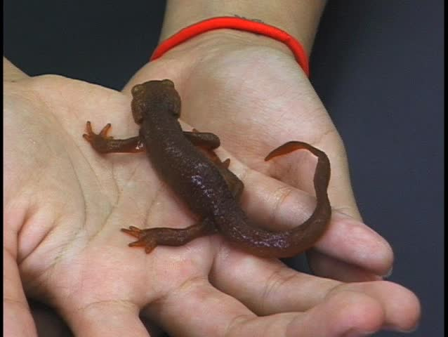 Cute Golden Newt in young woman's hand - SD stock footage clip