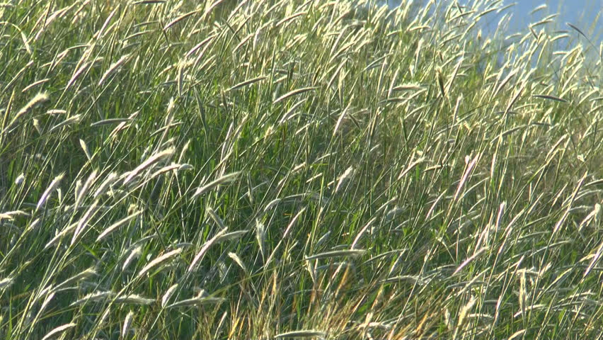 Tall field of wild grass, lit by sun, blows in wind. 1080p - HD stock video clip