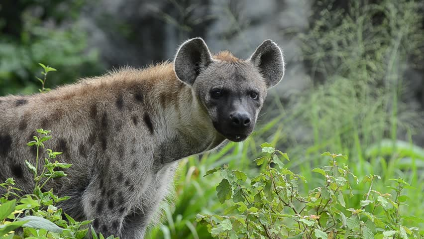 Hyena Offspring Crocuta crocuta footag...