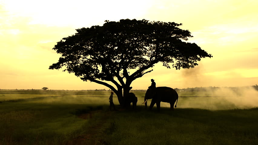 Silhouettes of Asia elephants walking along  in the middle of the field  with big tree in the fog storm and light ray on sunrise.Mahout and the elephant in the morning. | Shutterstock HD Video #28554862