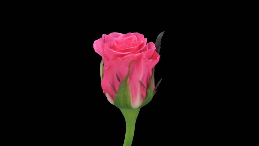 """Time-lapse of opening pink """"Ballet"""" rose 2c in .PNG+ format with alpha transparency channel isolated on black background  - HD stock video clip"""