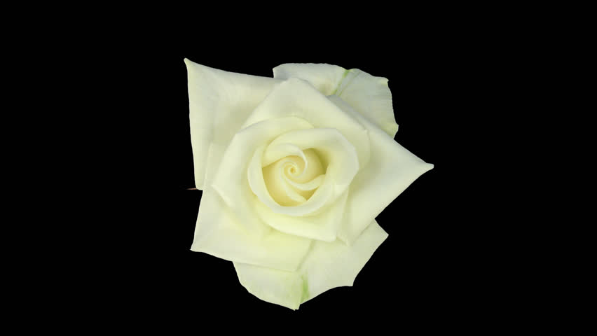 """Time-lapse of opening white """"Bianca"""" rose 2c in PNG+ format with alpha transparency channel isolated on black background, top view"""