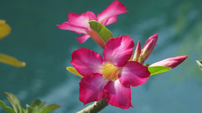 Red flowers Adenium against the background of blue water #28651594