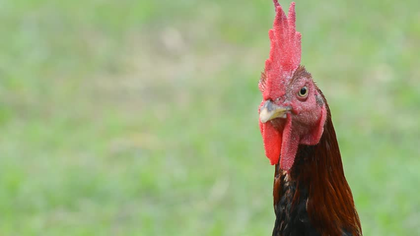 head of chicken brown on a background of green - HD stock video clip