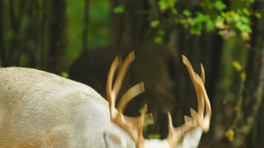 Whitetail Deer mature buck, October in Georgia | Shutterstock HD Video #2892901